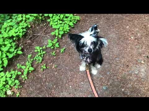 chinese crested dog 028    hiking