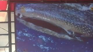 Download Video Nat Geo Wild: Wild Indonesia Cenderawasih Bay MP3 3GP MP4