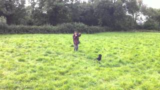 Gun Dog Training A 10 Month Old Cocker Spaniel To Hunt And Retrieve To Whistle