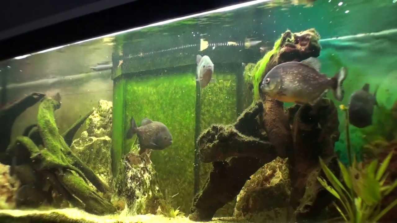 Piranha Aquarium 3 Youtube