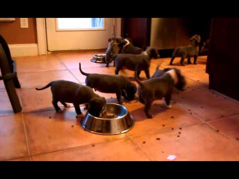Blue nose pitbull puppies for sale razors edge/gottie line