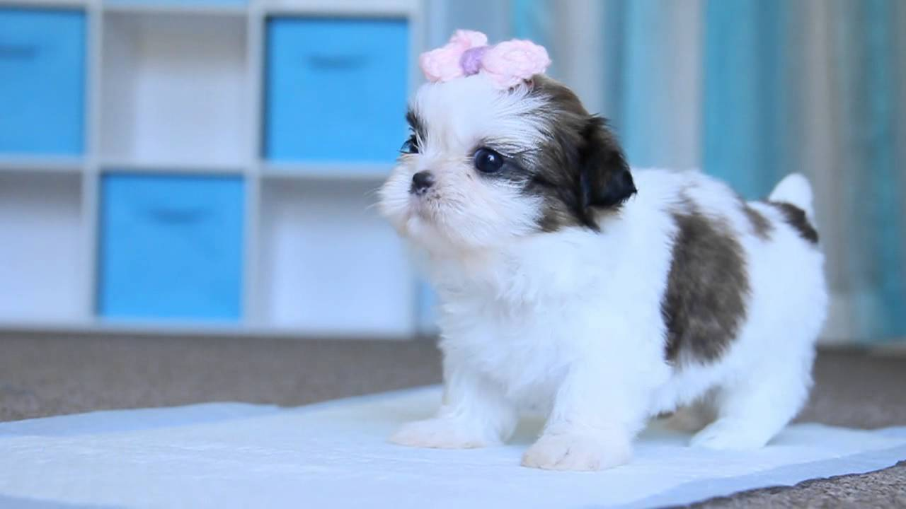 shih tzu purebred pure breed shih tzu cali 5 weeks youtube 6437
