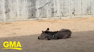 Baby zebra alert! This foal is the distraction we needed | GMA Digital