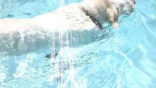 Labrador Retriever Dips In Swimming Pool
