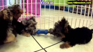 Yorkshire Terrier, Puppies, For, Sale, In, Detroit, Michigan, Mi, Waverly, Holt, Inkster, Wyandotte,