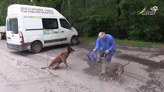 Стафорд Арон, Приучение к игре с другой собакой, короткий вариант