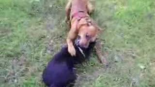 Boxer Vs Staffordshire Bull Terrier