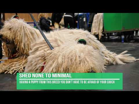 Komondor Dog Breed Information - Facts About Komondor