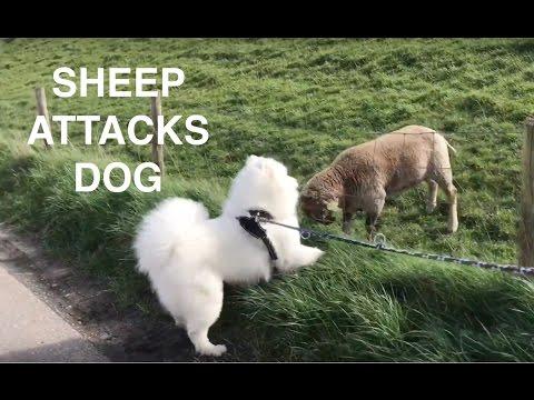 Sheep attacks Samoyed Dog!!!