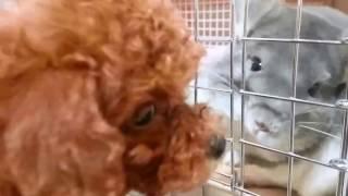 新しく家族になったプードルのプーちゃんでコロちゃんに会わせてみまし...