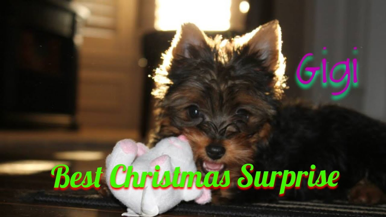 Christmas Puppy Surprise Gigi The Yorkie Youtube