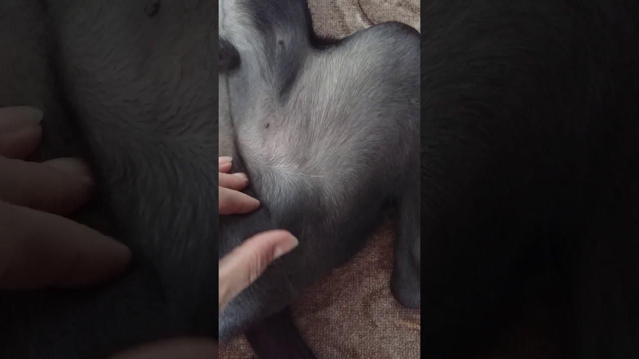 массаж  семенников щенку
