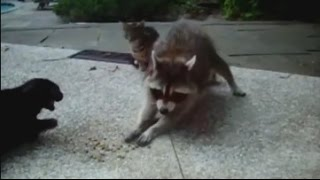Еноты воруют \  Raccoons they steal