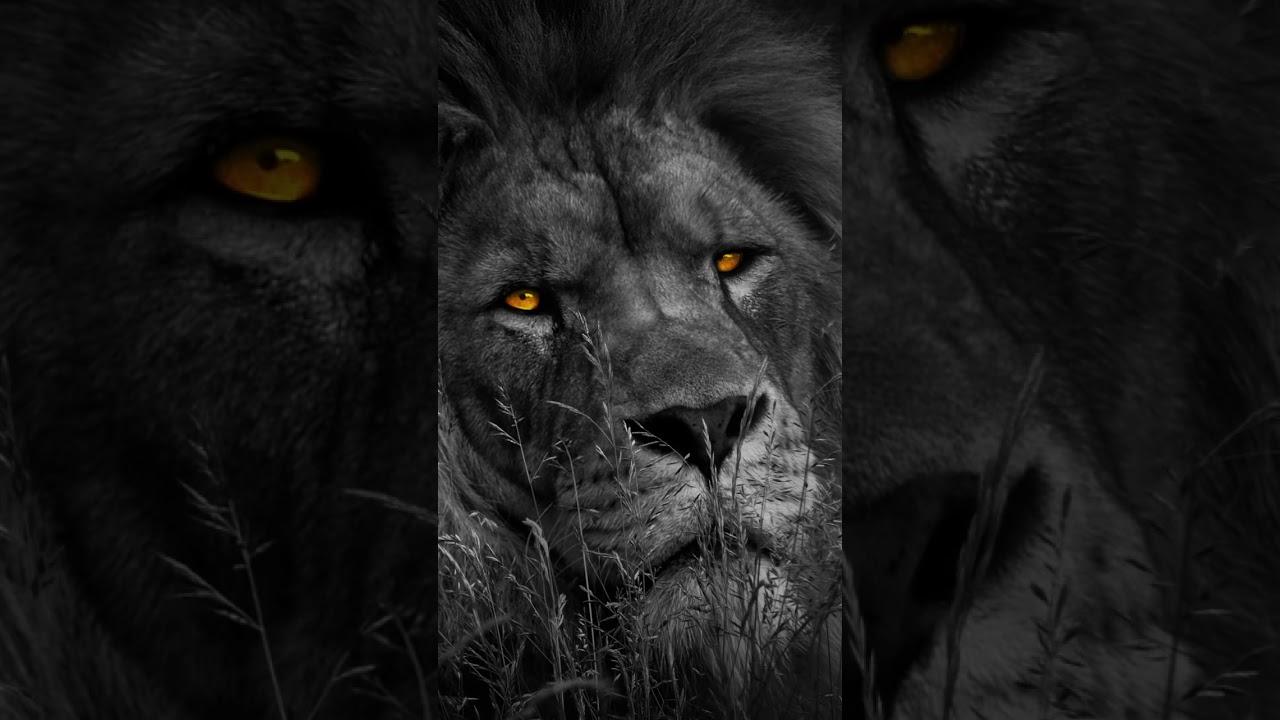[Video] Lion king
