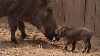 Video Gus the Warthog download MP3, 3GP, MP4, WEBM, AVI, FLV Juni 2018