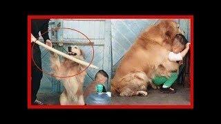 お母さんのように人間の子供を必死で守る犬たち 2019 ( new)