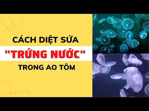 Cách diệt sứa (trứng nước) trong ao nuôi tôm | Nguyễn Minh Quốc #30