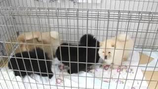 関西チャウチャウ子犬販売ページ→ http://www.at-breeder.net/chow_chow...