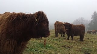 Scottish Highland Cattle In Finland: Cows say moo, moo, moo.. moo
