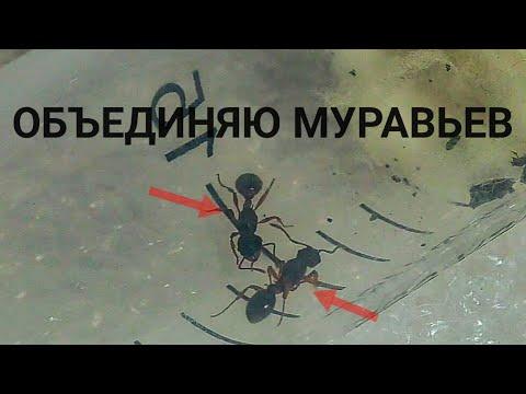 Объединяю Муравьев! Новые муравьи на канале! Как поживают другие колонии?