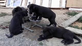 ЩЕНКИ черной НЕМЕЦКОЙ ОВЧАРКИ.Puppies black German Shepherd .Одесса.