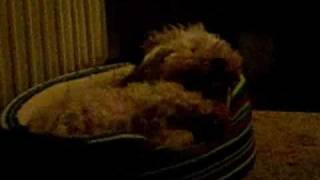 Kleiner Hund niest herzhaft!