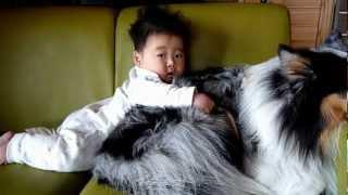 シェットランドシープドッグに生後半年の赤ちゃんを乗せてみました。赤...