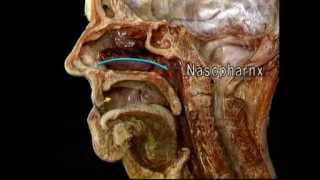Анатомия человека. Полости носа.(, 2012-07-20T17:56:37.000Z)