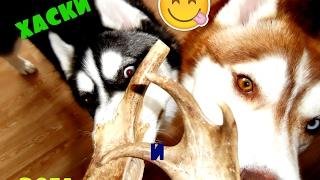 Хаски и рога северного оленя.| Необычное лакомство для собак|