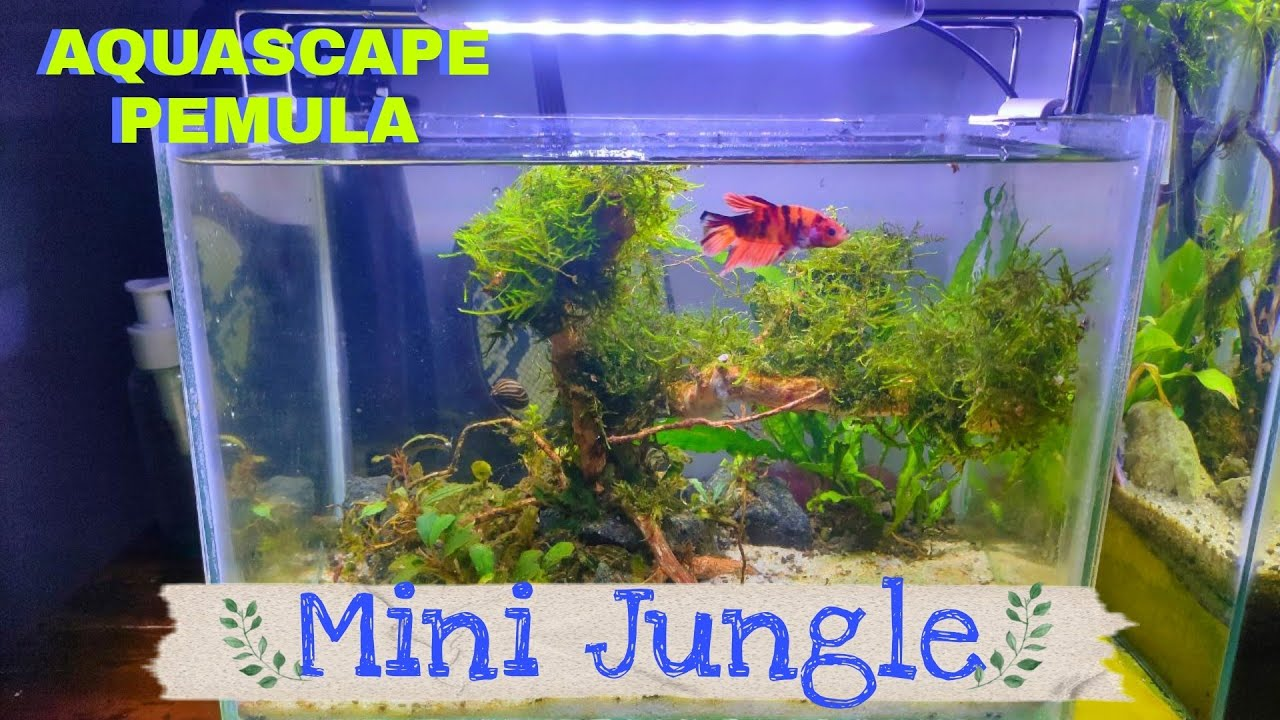 Percantik Cupang Tiga3 L Aquascape Cupang Mini Tank Setup For Betta Fish Aquascape Pemula Youtube