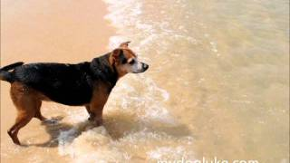 тайский собак
