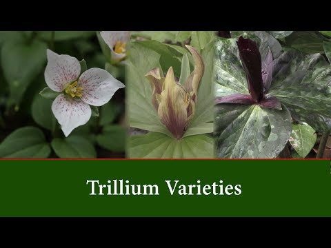 Trillium Varieties and How to Grow Them