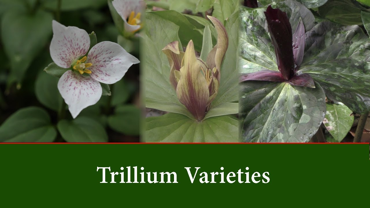 Trillium Plants Varieties And How To Grow Them Youtube