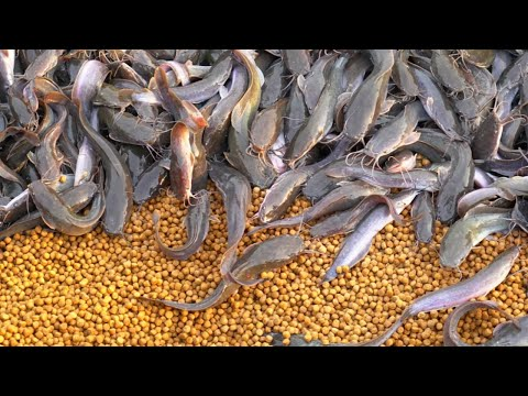 Wild Catfish Reaction After In Giving This Feed | Catfish Farming
