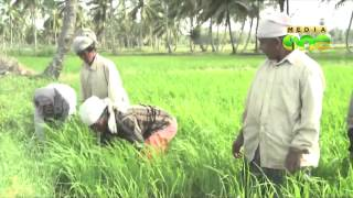 Climate change affects paddy cultivation