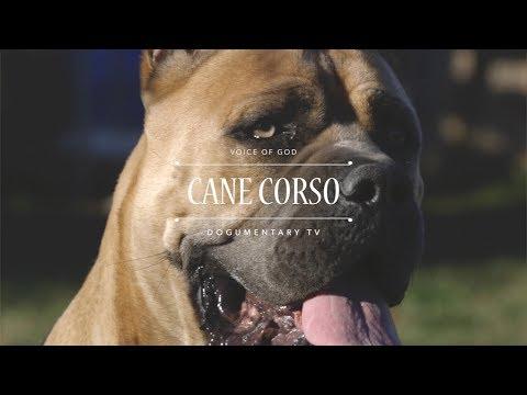 THE VOICE OF GOD: CANE CORSO