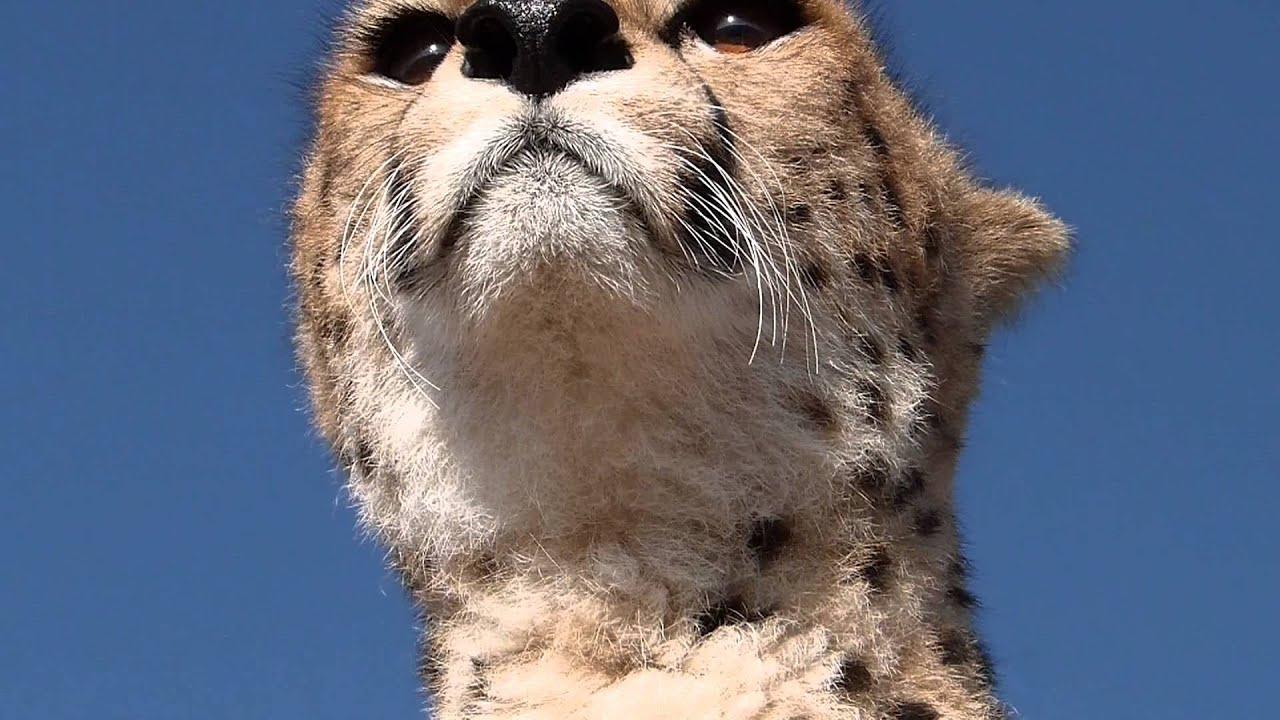 masai mara - malaika the cheetah jump on our jeep