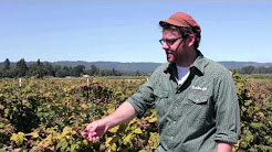 How Choose Ripe Marionberries For Wine