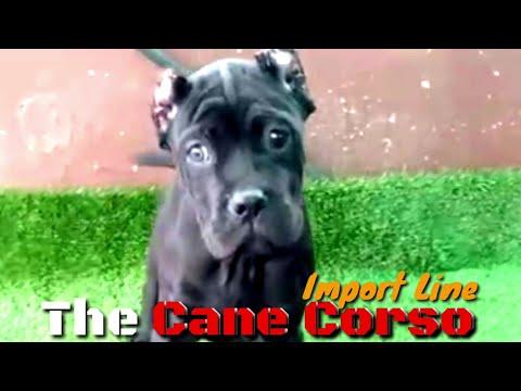 the-italian-mastiff-cane-corso.-the-protector,-companion-dog-&-guard-dog.-semi-adult-corsos-for-sale