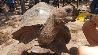 Огромные черепахи на Занзибаре! Остров Призон!
