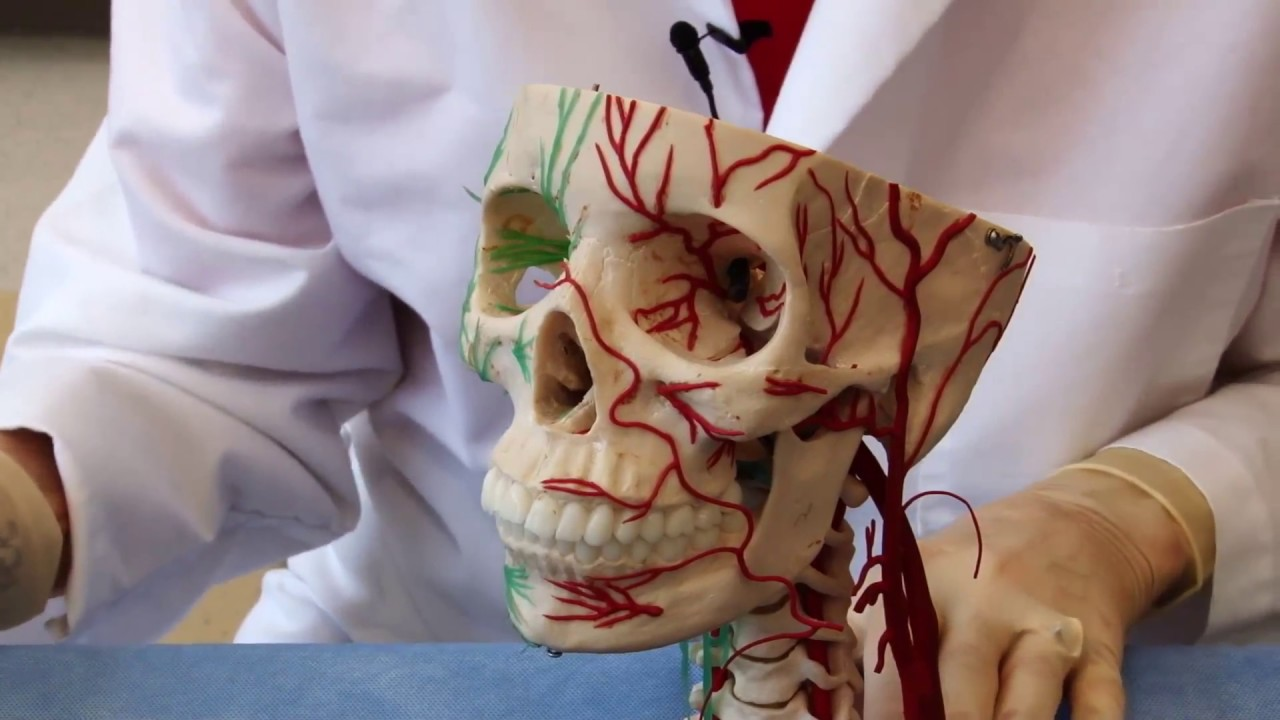 The Visual Pathway: Neuroanatomy Video Lab - Brain Dissections