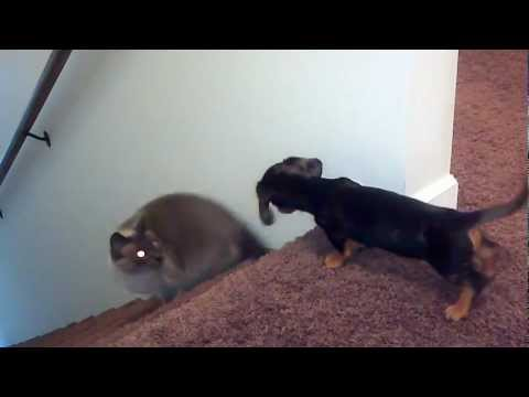 Miniature Dachshund playing with cat