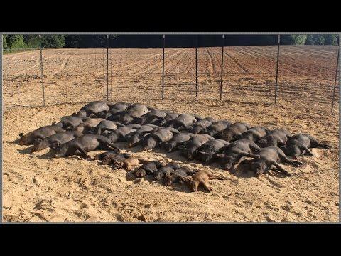 Wild Hog Trapping   (9) 33/33 Feral Hog Capture   JAGER PRO™