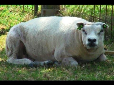 Koyun değil sanki dana