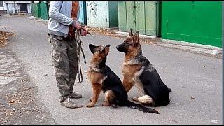 ИДЁМ ГУЛЯТЬ. Немецкие овчарки Скай и Камри. Одесса.
