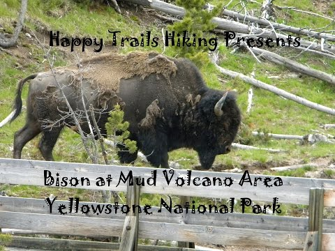 Yellowstone National Park - Bison at Mud Volcano Area- Park Travel Review