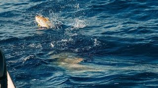 Into The Blue: Yellowtails and Bull Sharks