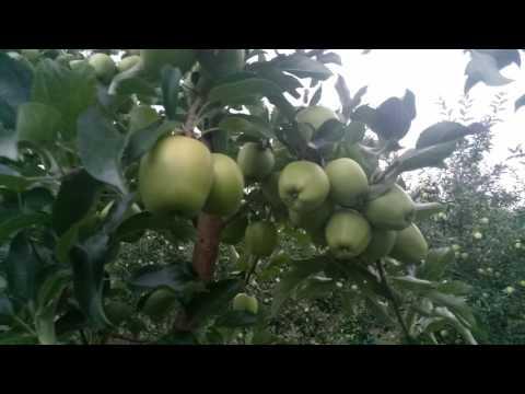 Яблони сорта Голден Резистент на подвоє М9