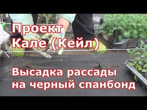 Высадка капусты Кале (Кейл) в открытый грунт на черный укрывной материал