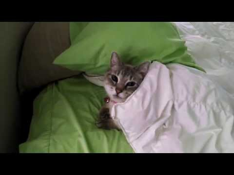 Cat Tucks Herself In to Bed
